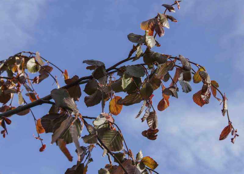 Silkeaktige blader.