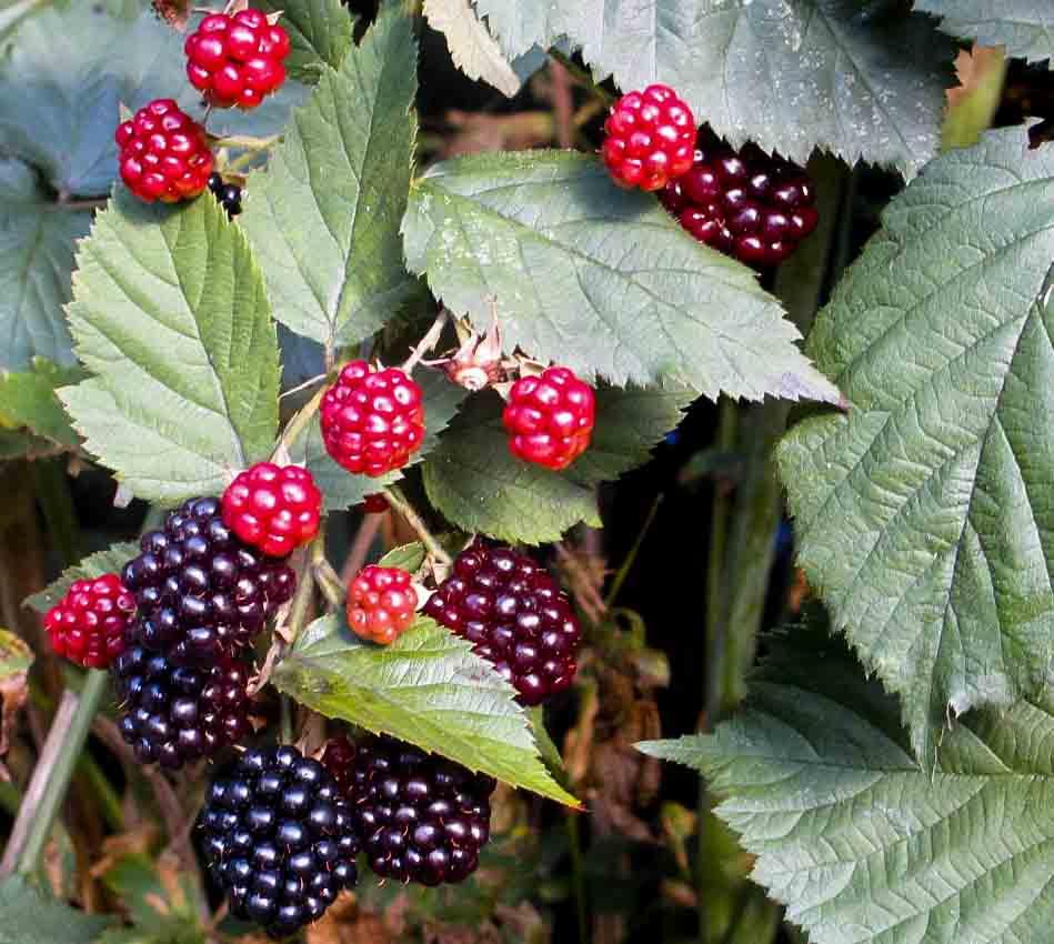 "Hage bjørnebær, ""Thornless Evergreen"""