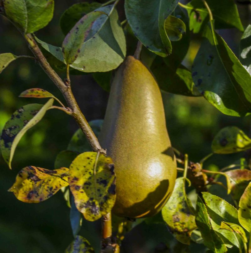 Conference pear_20