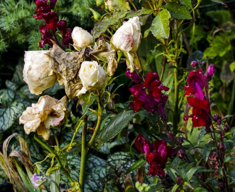 Raatnende roser_20