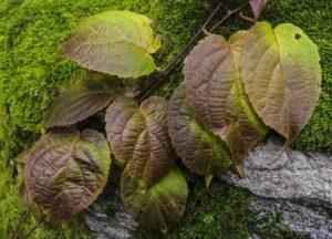 Rødkattebusk, (Actinidia kolomikta) i årets høstmote