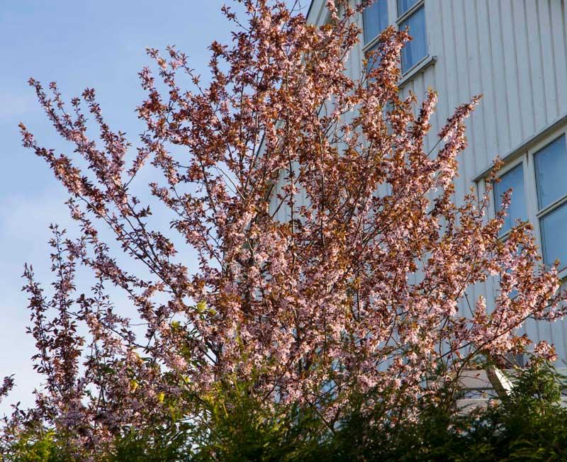 Prydepletre på våren.