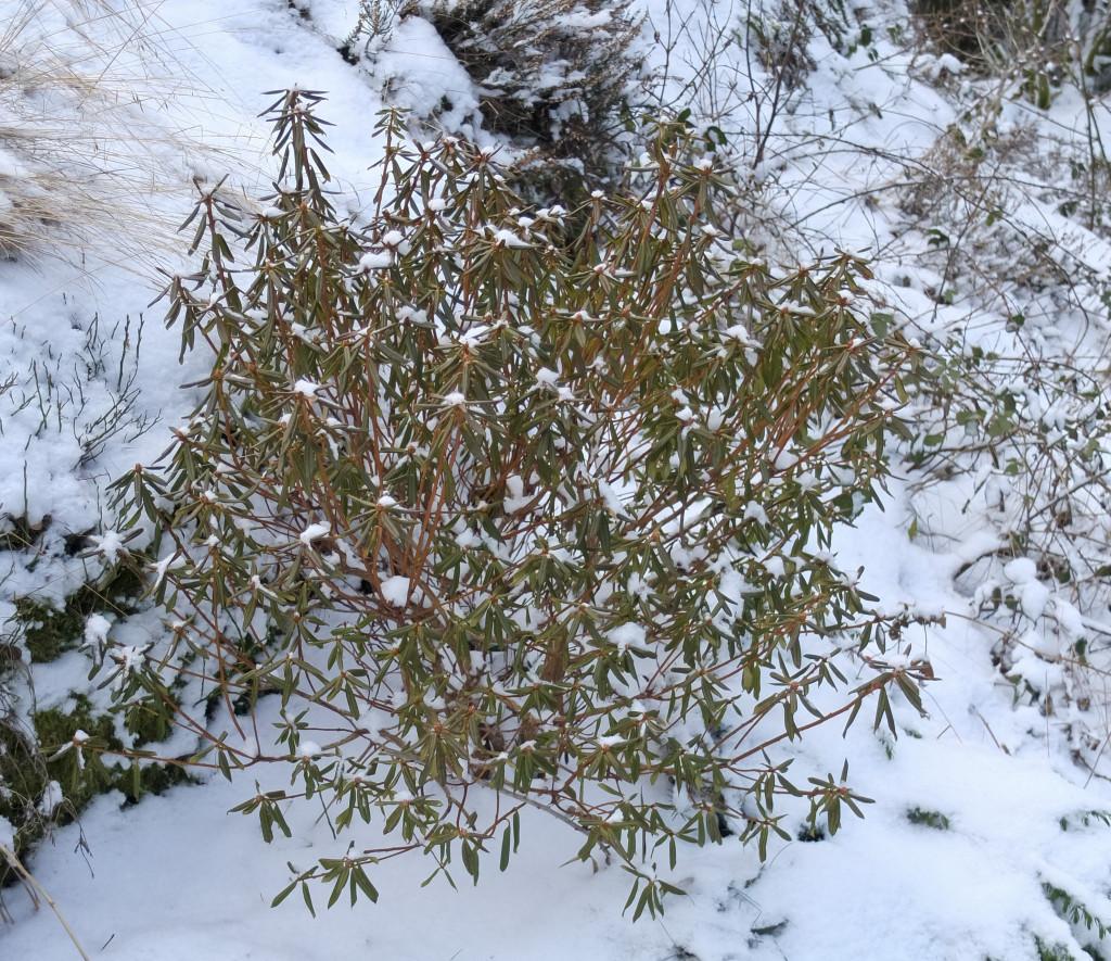 Rhododendron carolianum ,. Nå når det er kaldt, krøller den bladene sammen slik at fordampingen fra bladene minimaliseres.