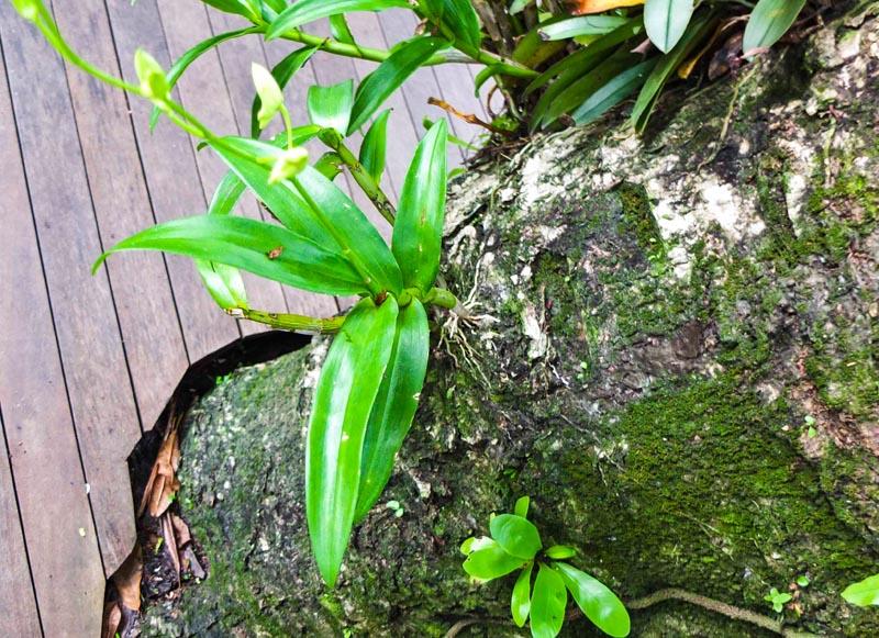 Slik vokser orkideer i det virkelige liv.