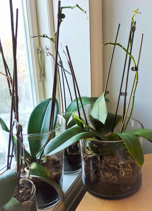 Her er orkideene parkert til neste blomstring.