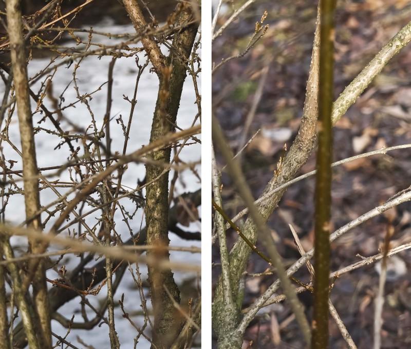 Detaljer av grenene, slik at dere ikke skal løpe ut og klippe i de nå. (Hvis det ikke er for å klippe av grener og ta med inn).