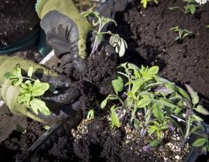 Vipper tomatplantene forsiktig opp av boksen. og lirker hver plante fra hverandre.