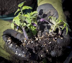 Trekker-lirker røttene forsiktig fra naboplanten.