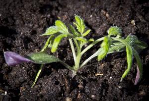 "Der ser du både frøbladene og de nye ""tomatplantebladene"""