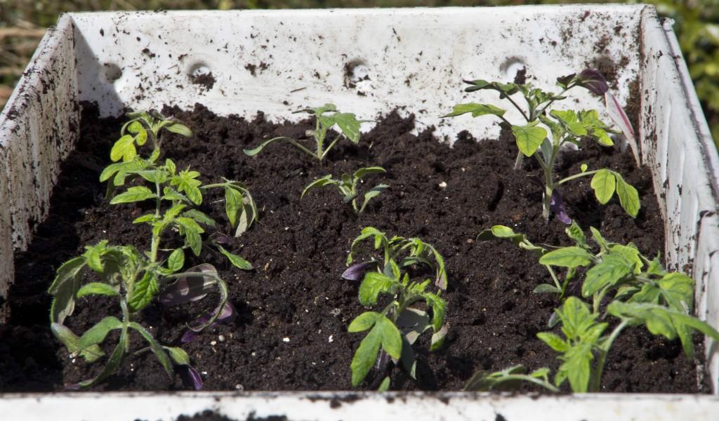 På plass i kassen. Kunne ha plantet alle i hver sin individuelle potte, men det gjør de litt mer sårbare for uttørking.