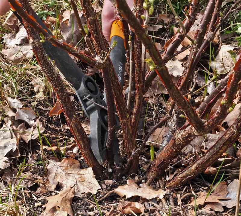"""Grener som er svake og eller """"fortetter"""" busken unødvendig, klippes vekk med skarp grensaks."""