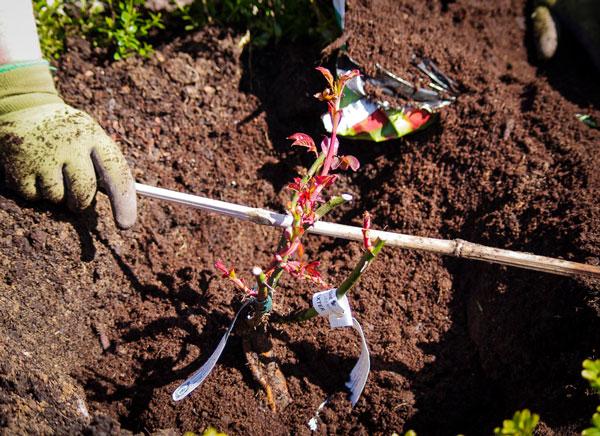 Roseplanting_26_