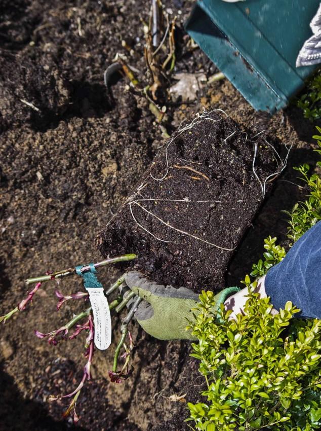 Slik planter du roser_3