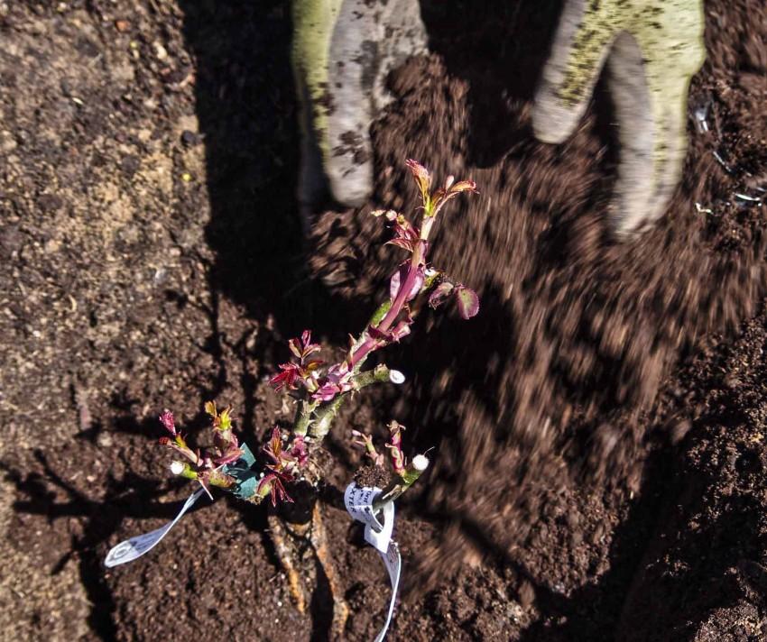 Slik planter du roser_7