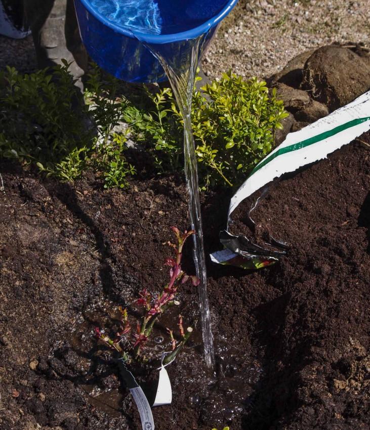 Slik planter du roser_8