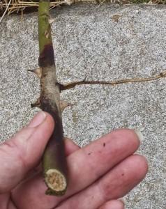 Frostskadet rosegren. selv om den er grønn ovenfor frostskaden vil den etter all sannsynlighet dø da grenen sakte vil tørke ut. Ingen vits i at rosen bruker krefter på det.