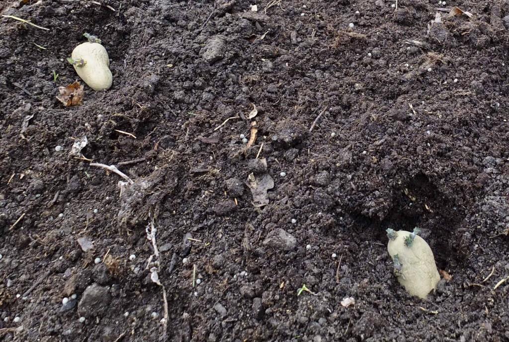 Settedybden kan maks være 7-8 cm. Blir det dypere bruker groene for lang tid for å nå jordoverflaten. Jeg kommer tilbake til hypping av poteter litt senere når potetriset er ca 20 cm høyt..