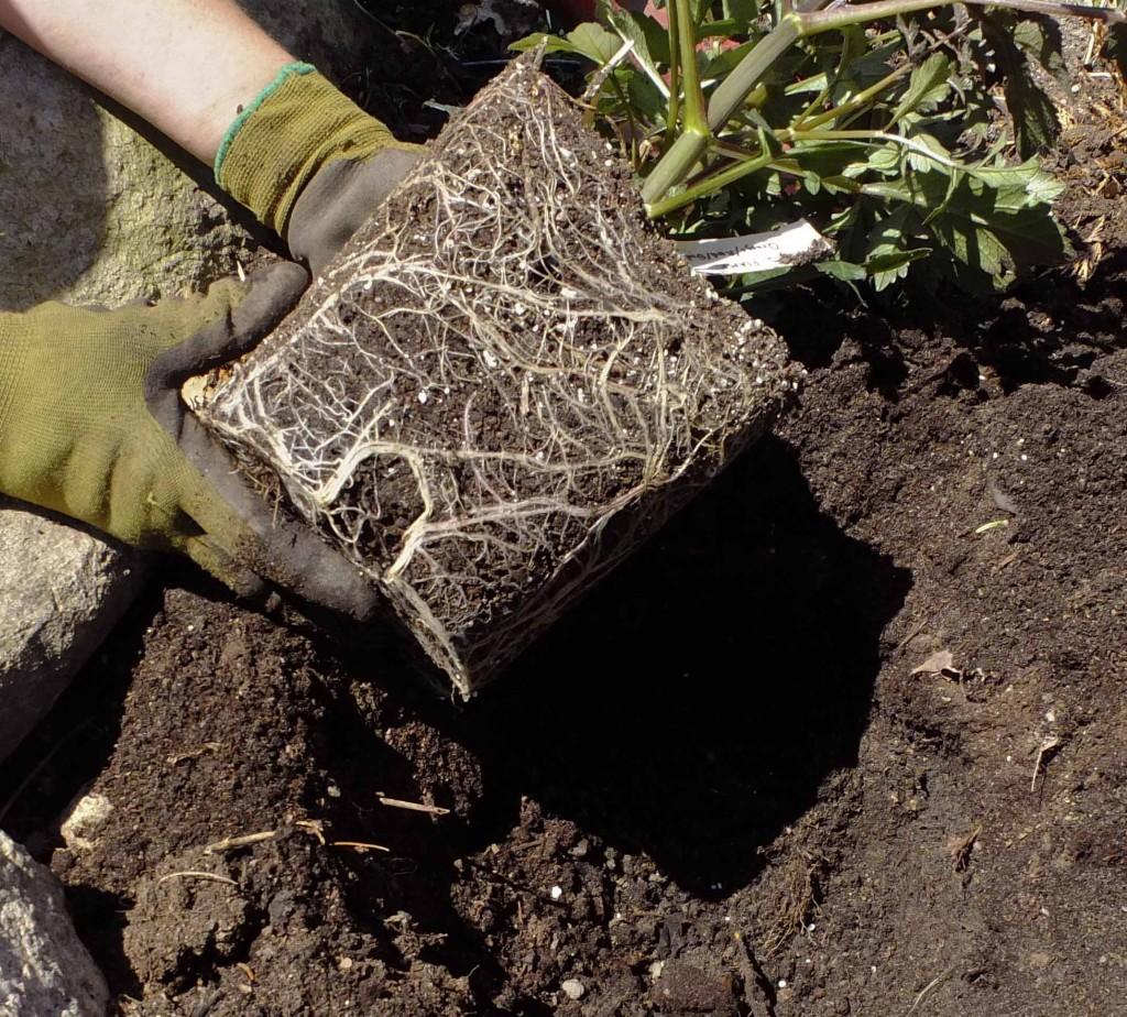 Grav et hull som er et par cm dypere enn potten som georginen stod i. Pass på at det er god, næringsrik hagejord de blir plantet i. Bank forsiktig på bunnen av potten, ta ut georginen og sett den i bunnen av hullet.