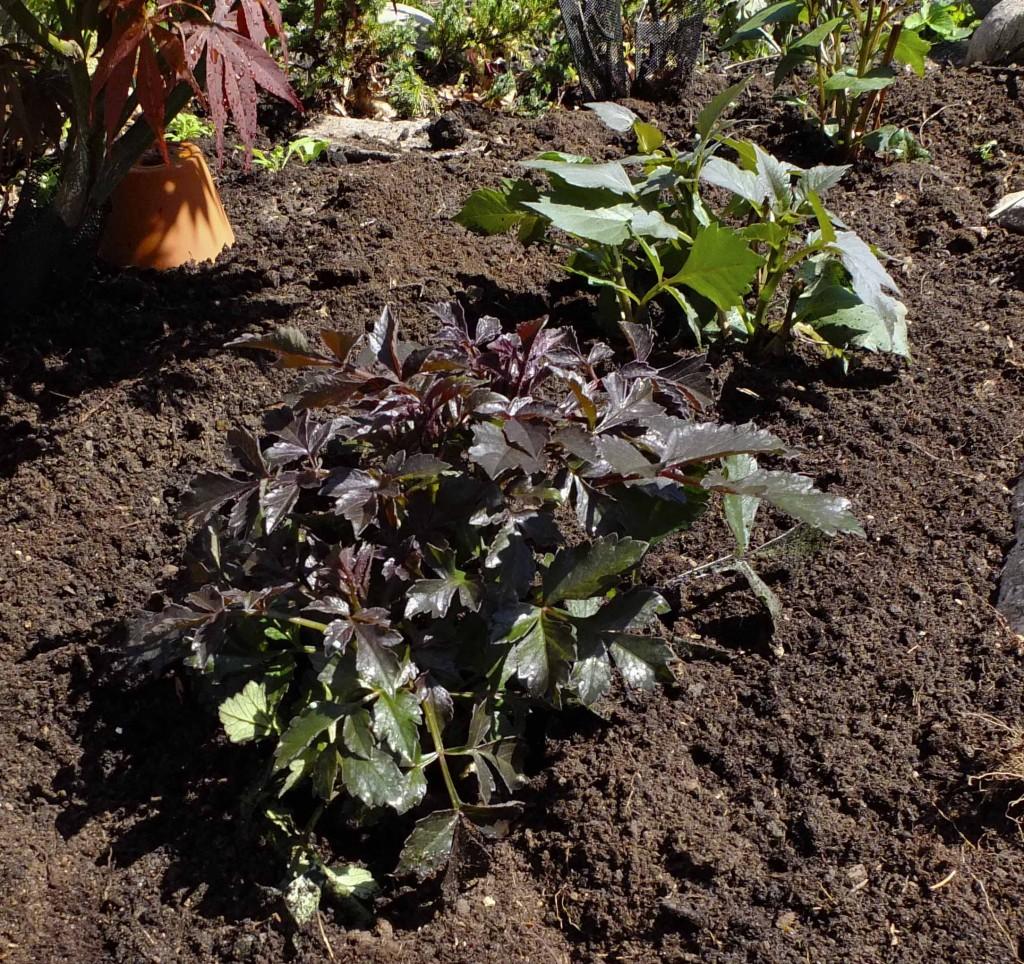 Pass på at det er ok med plass mellom hver plante. Georginer blir ofte vide. Vær obs på at de vil trenge støtte når de vokser seg høyere.