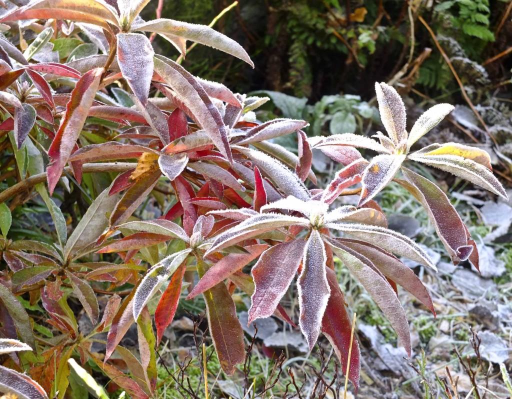 Samme plante senhøstes i fjor. Fantastiske høstfarger!