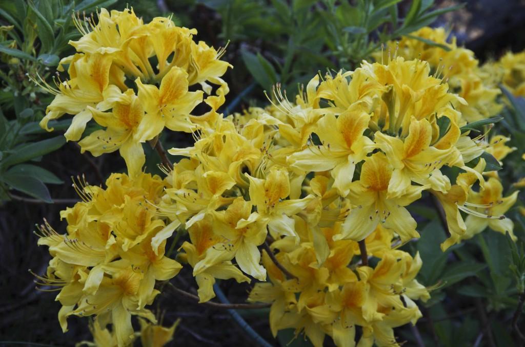 Bladfellende Rhododendron. Også kalt Azalea. Trives med litt mere sol enn de eviggrønne.