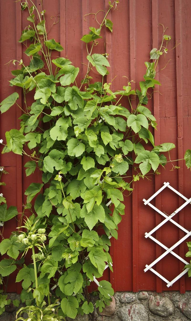 """Her er den tidligste av de to druerankene på sydveggen. Den må """"sommerklippes"""" jevnt ut over sommeren. Men bar på grønn, ny vekst."""