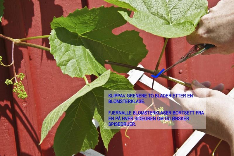 På en veletablert vinranke kan du beholde to blomsterranker på hver sidegren, men sørg for at det er ca 30 cm imellom blomsterrankene