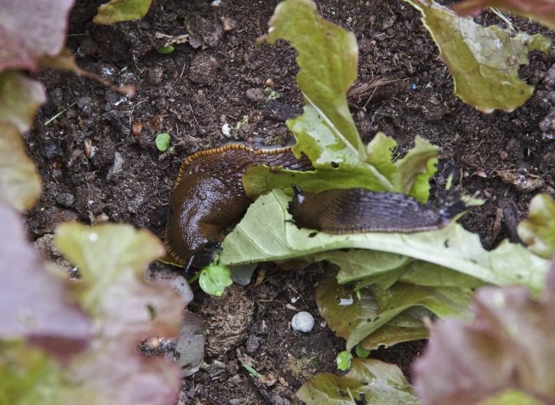 Nei, fysj! Brunskogsnegler midt i plukksalaten. Eller riktigere sagt, det som var plukksalat.