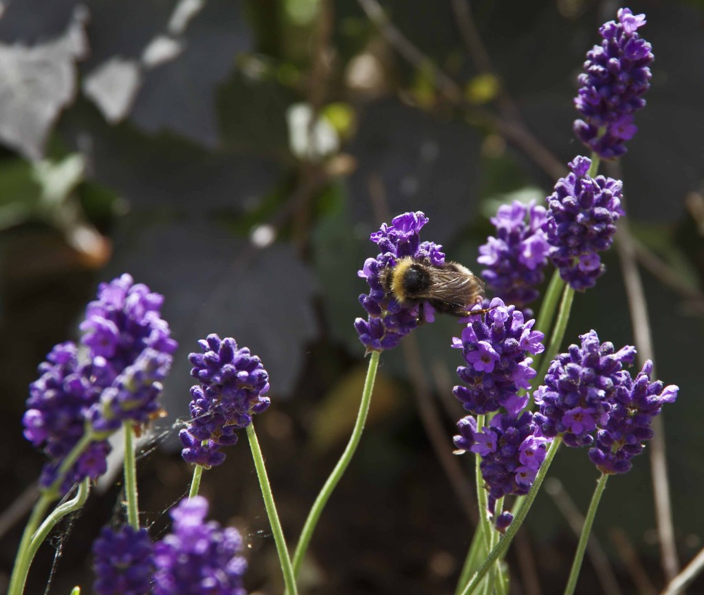 frossen lavendel22_