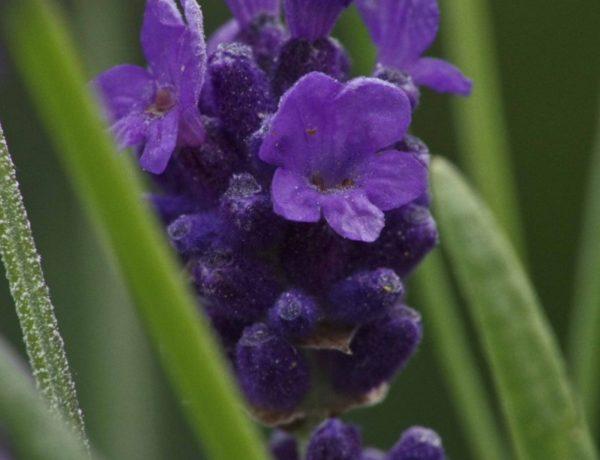 frossen lavendel20_