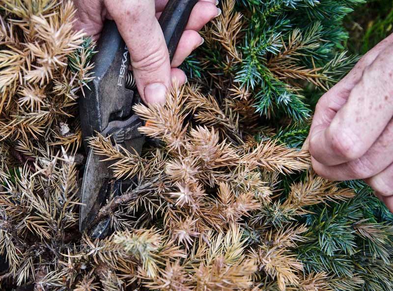 Vær forsiktig når du fjerner de døde grenene slik at du ikke fjerner for mye,