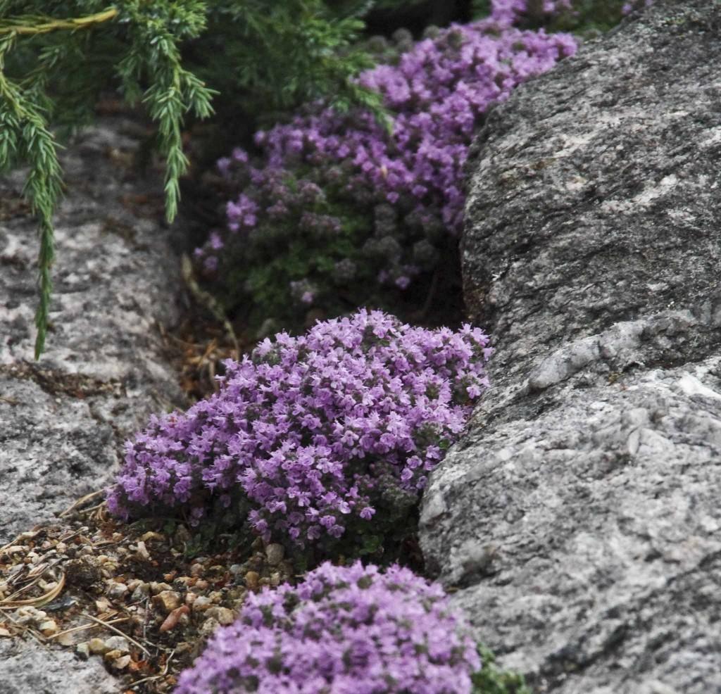 Nærbilde av blomsten til kryptorskemunn. Den er sprer seg lett og er villig.