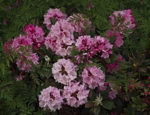 rhododendron-13-e_20_