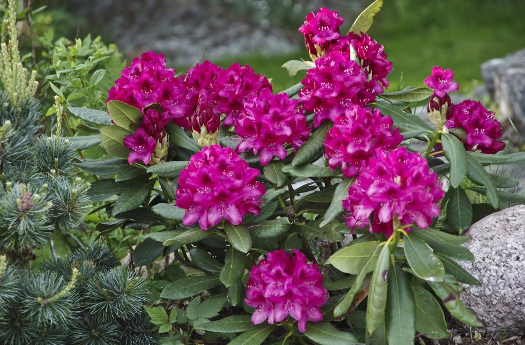 Rhododendron Nova Zembla. denne plantet jeg i fjor sammen med en dvergfuru og blåbærbusker