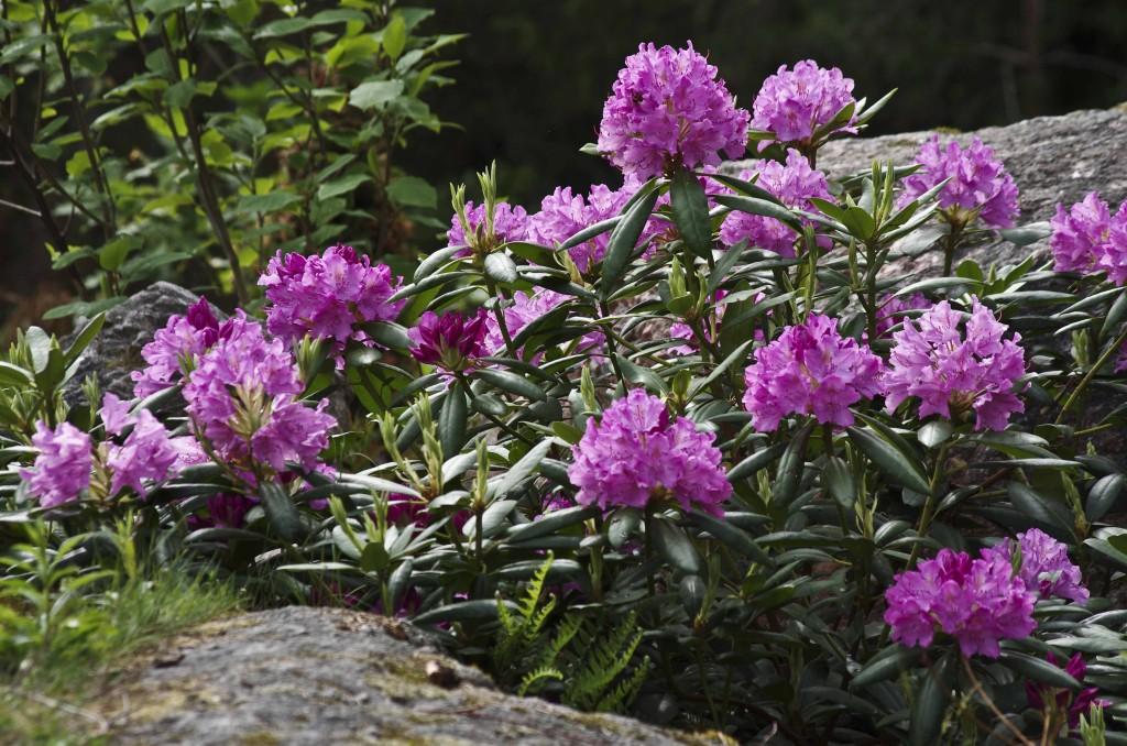 Rhododendron catawbiense , kanskje den mest standard rhododendronen som finnes. Den trivdes godt så langt nord som Trondheim. Sorten blir nokså stor og vid.