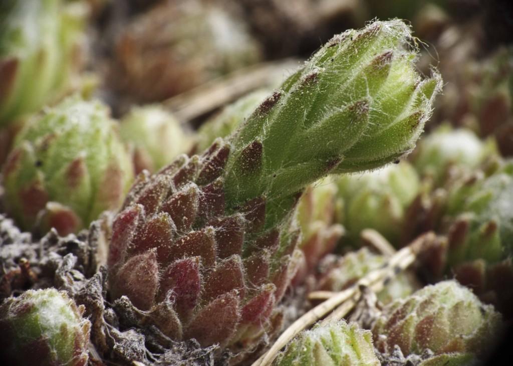 Her er det i ferd med å dannes en blomsterstilk fra midten av bladrosetten. Etter avblomstring visner denne bladrosetten ned mens det settes sideskudd.