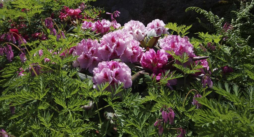 Her har småhjerteblomst vokst opp igjennom en lavtvoksende ros rhododendron jeg ikke husker navnet på