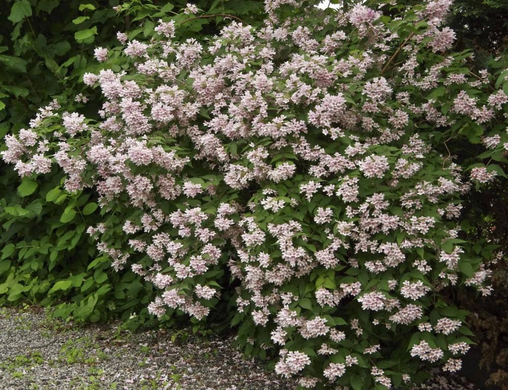 Fagerbusk Kolkwitzia