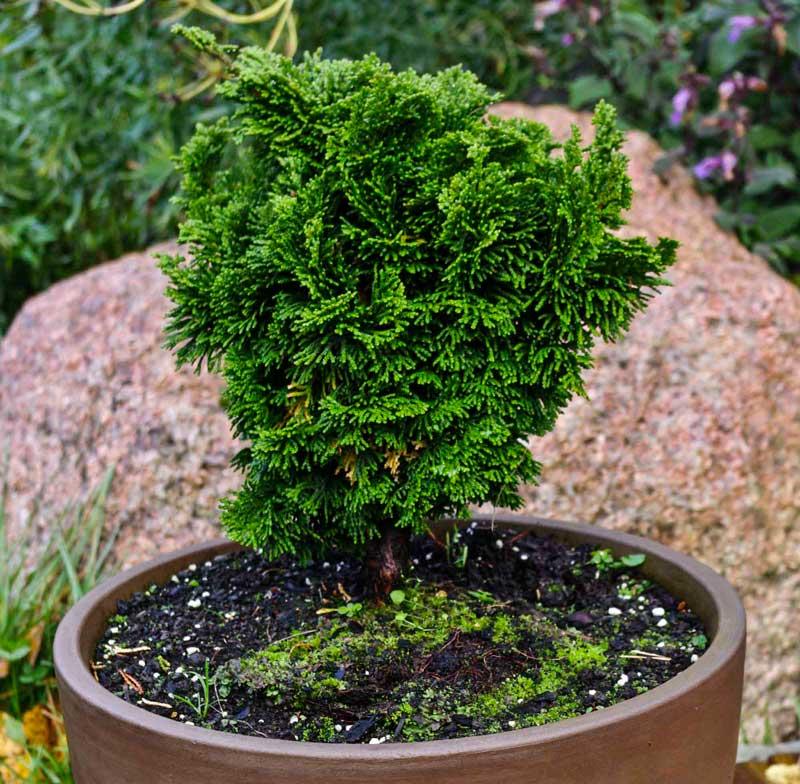 En enkel eviggrønn krukke kan også se lekker ut. Denn vil være flott på fjellet også. Eller med en blåeiner i?