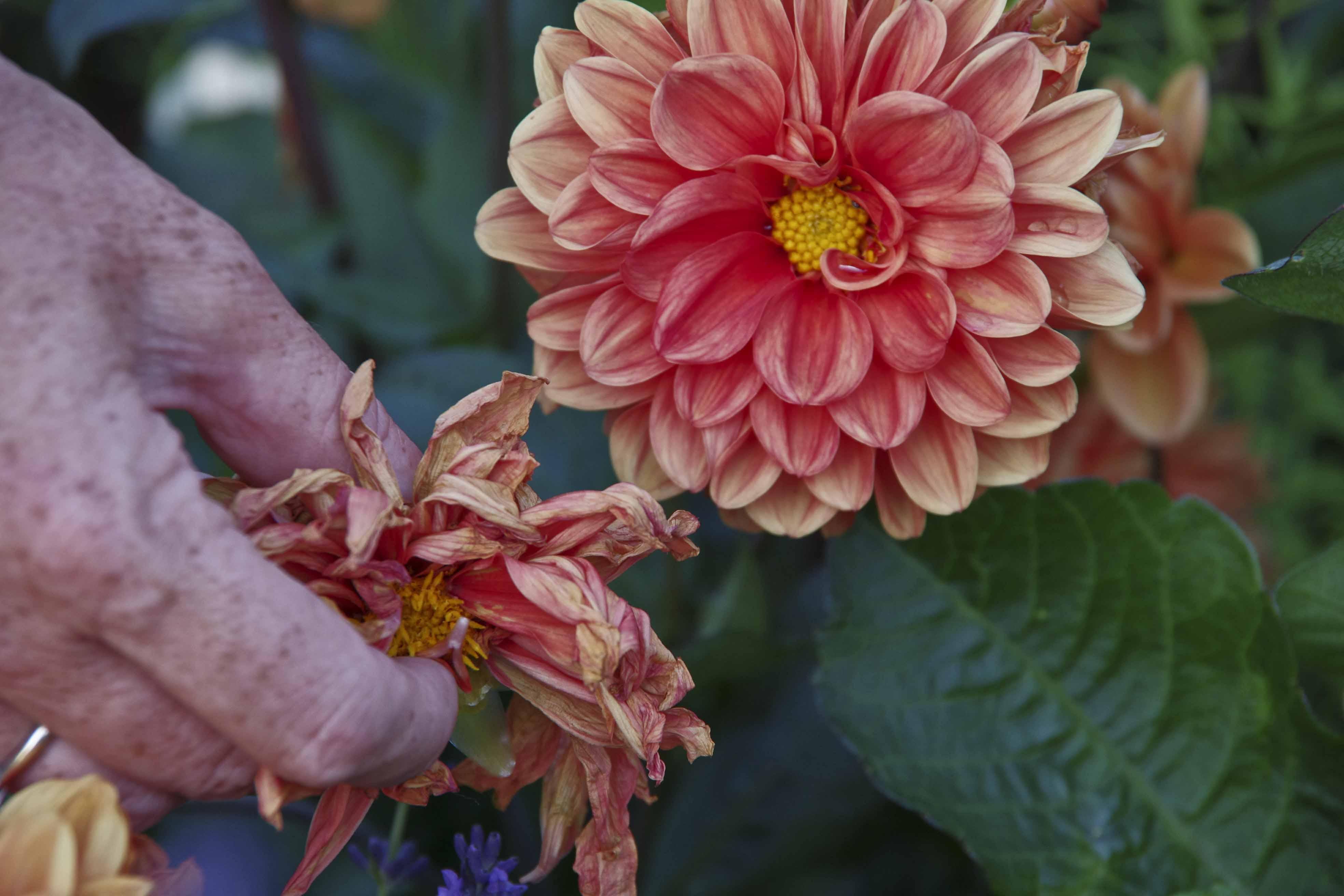 Fjern visne blomster fra planten. Da brukes energien på nye blomster isteden!