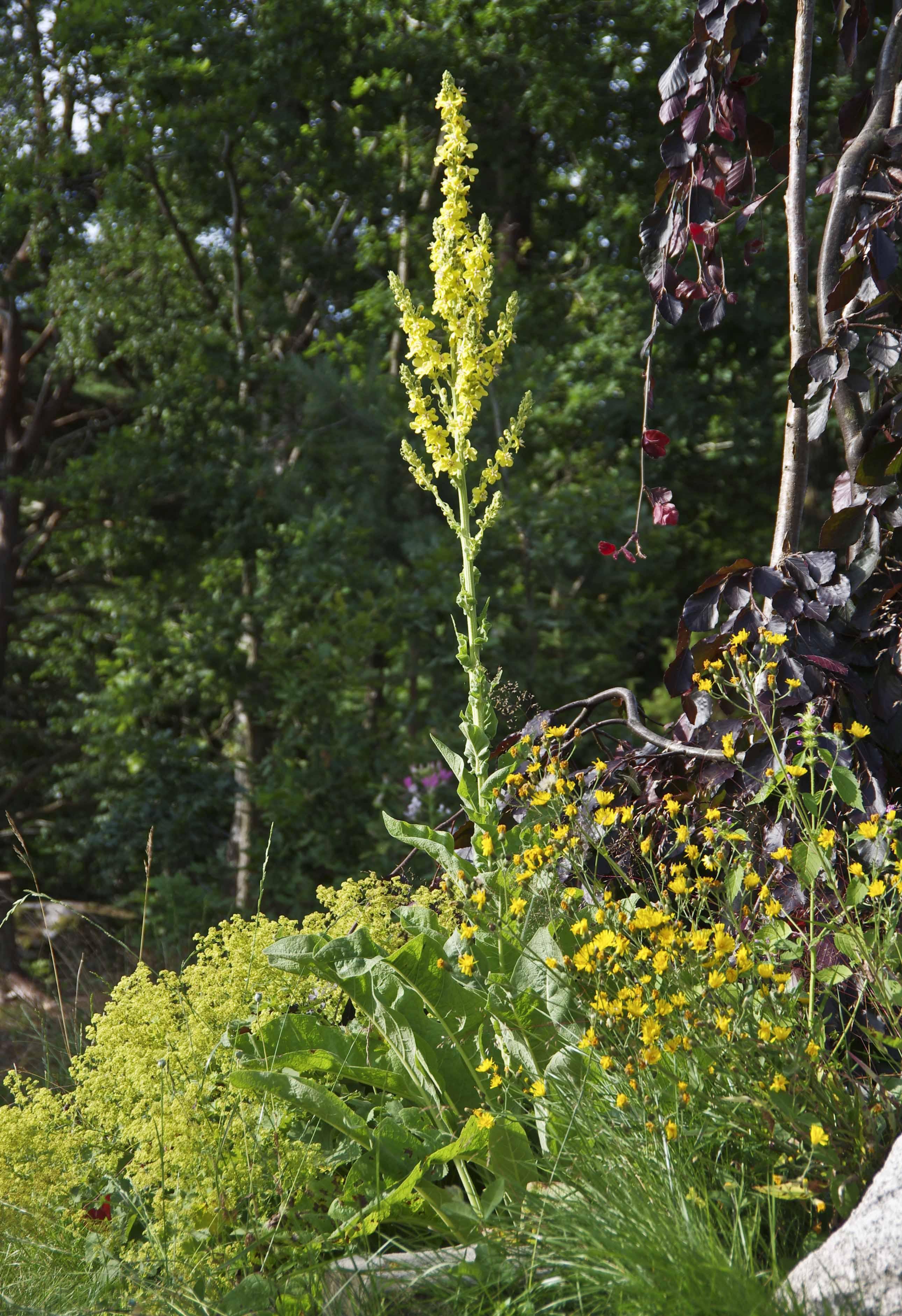 Filtkongslys. Planten er toårig, slik at det er nå du må så frø for å få blomster neste år, eller let opp noen planter i et gartneri.