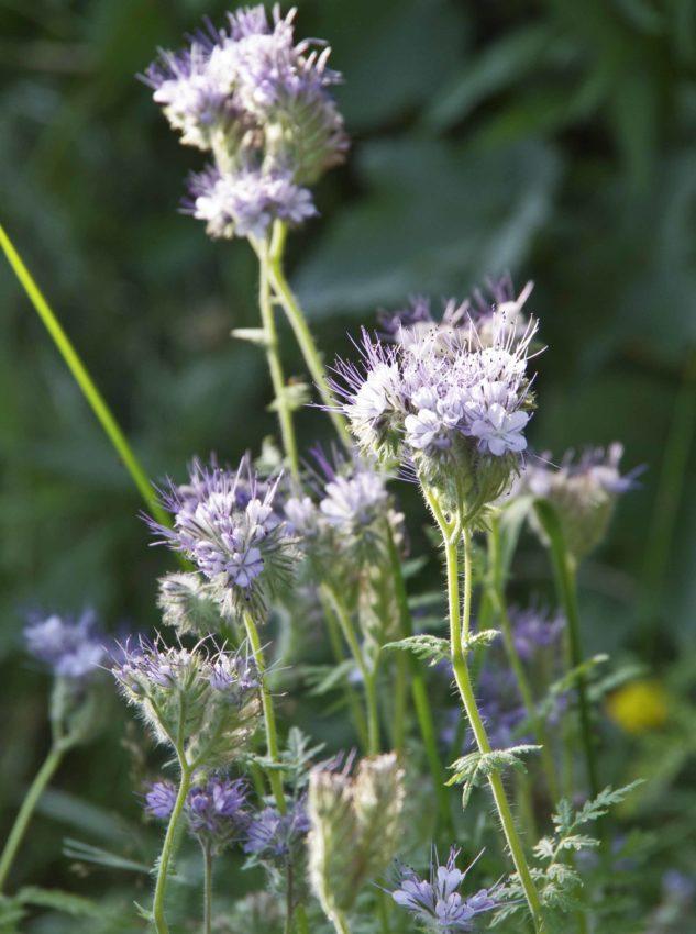 Honningurt, Phacelia tanacetifolia27_