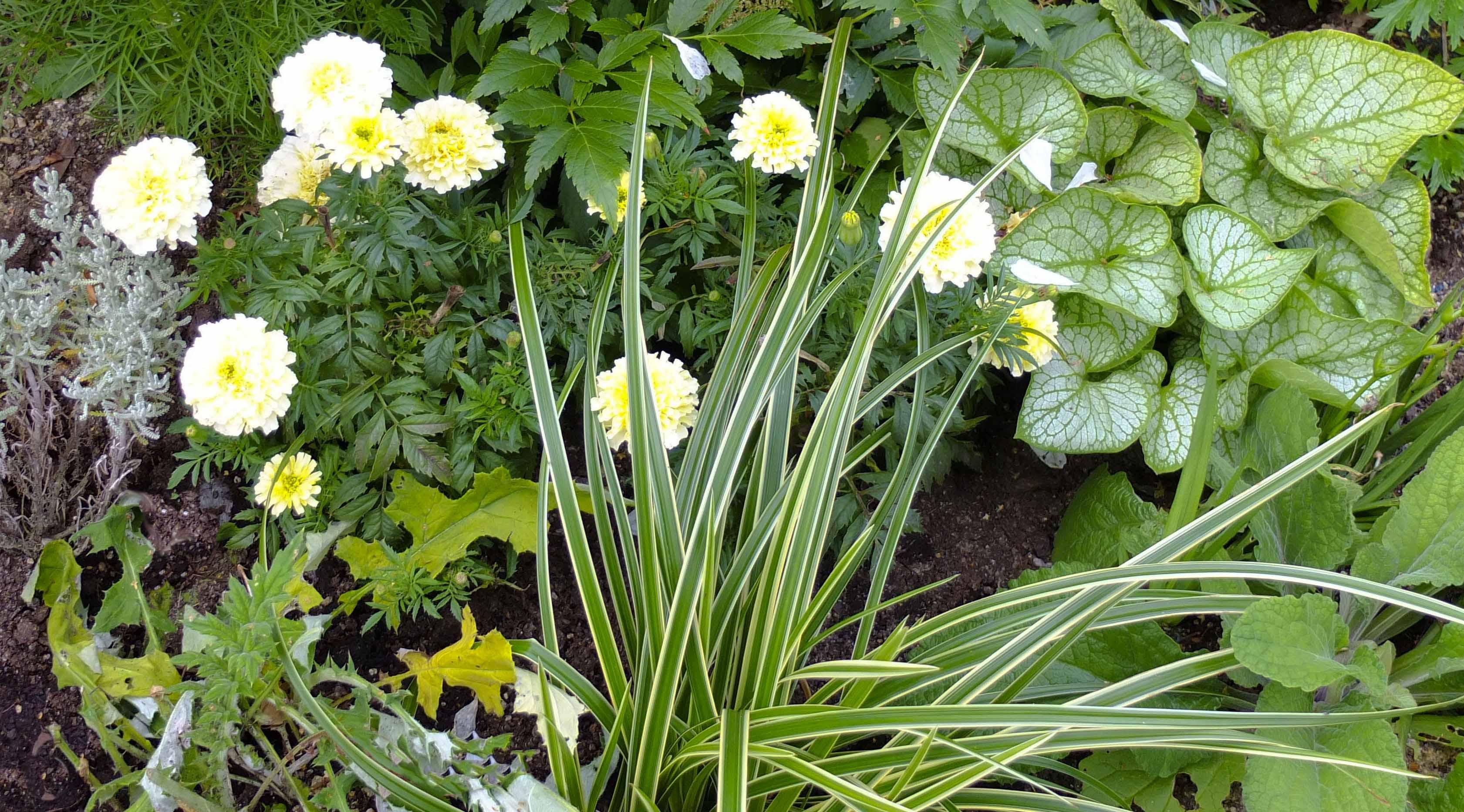 """Blekgule kjempetagetes, frøsådde hvite, kuletistler, Prydgress """"Ice Dance"""" , Carex morrowii. Hvir forglemmeiei med spettede blader."""