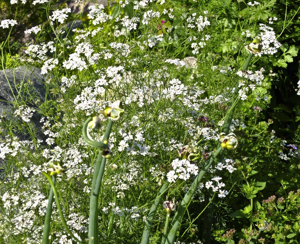 Koriander i blomst26_