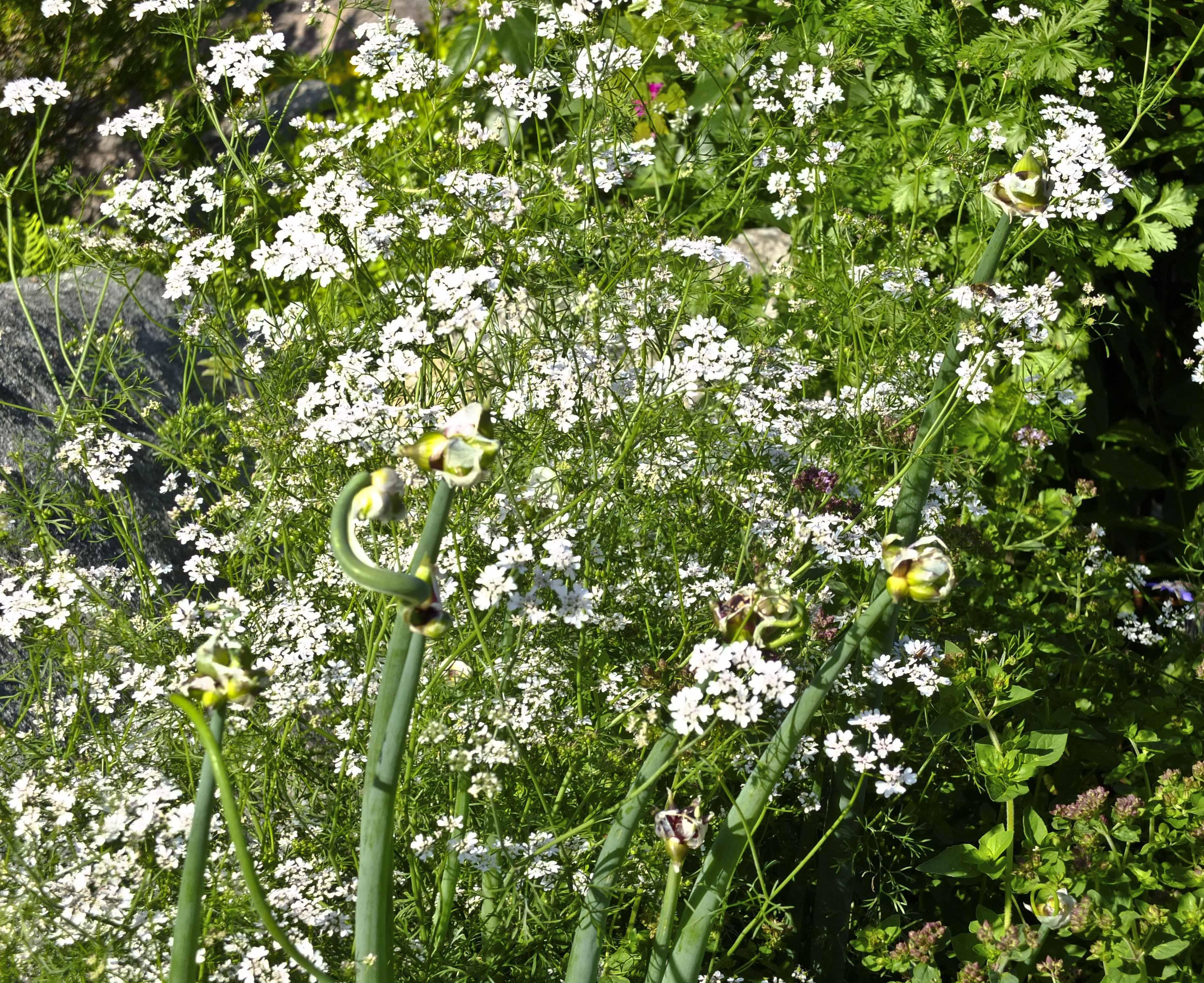 Koriander i blomst er alle insekter velig glad i er mitt inntrykk.