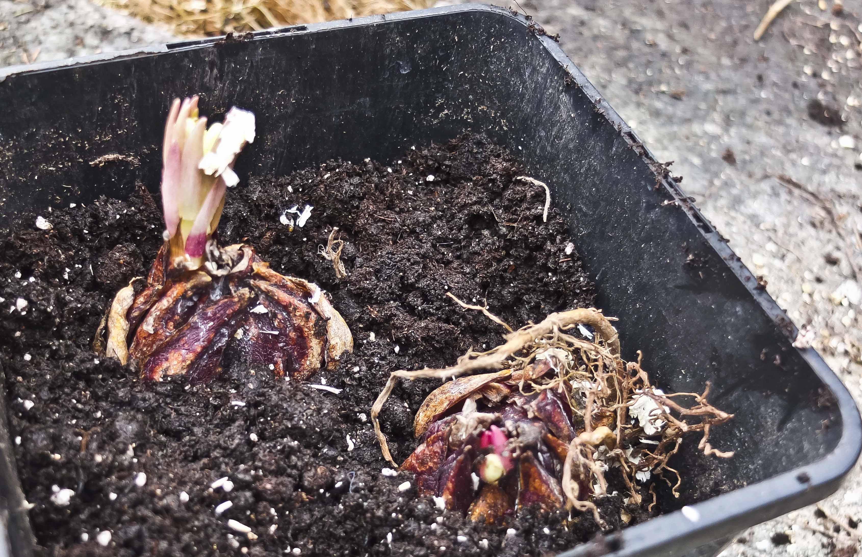 Dise to kongelilje-løkene plantet jeg i krukke i april. Deretter stod de i drivhuset i seks uker før jeg plantet de ut.