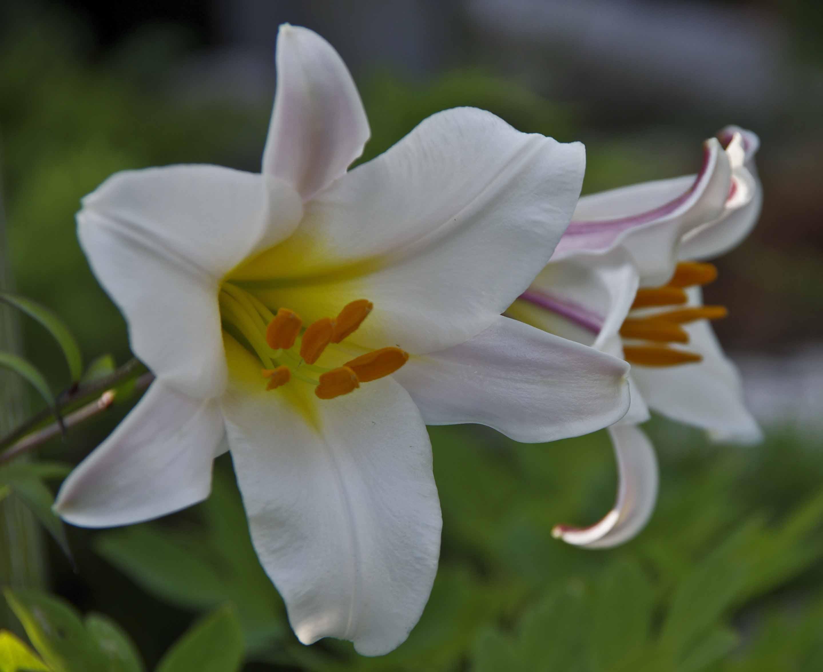 Blomstene er store og trompetformede med en litt kraftig, nesten god duft..