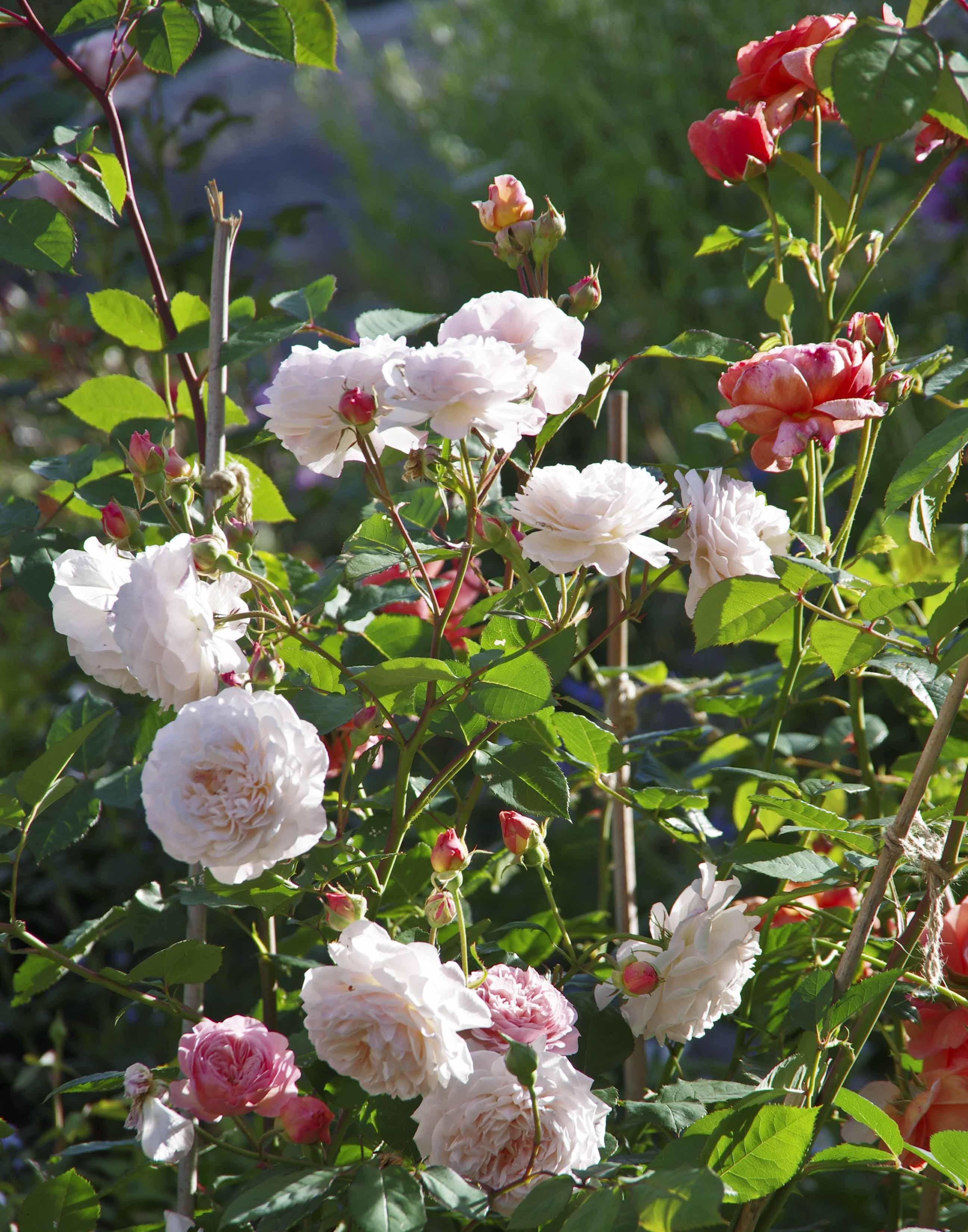 """David Austin rosene """"Leander"""" og """"Summersong"""". Alle visnede roser klippes vekk så fort vi ser at de er avblomstret."""