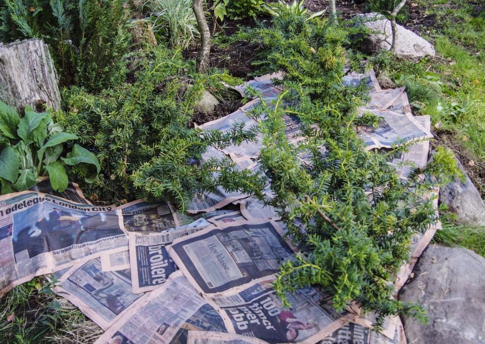 Her har jeg lagt gjennomvåte aviser rundt buskene. Minst to lag overalt.