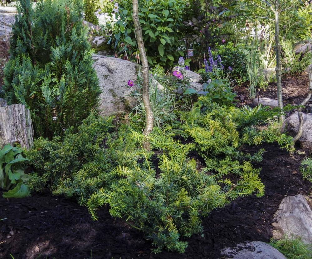 Ferdig påfylt med bark. Disse buskene vil lett greie seg alene i flere år.